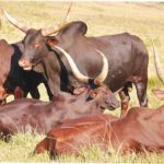 breeds-of-cattle-nigeria