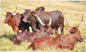 breeds-of-cattle-nigeria